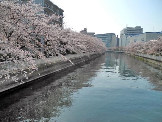 140408大横川桜1.jpg