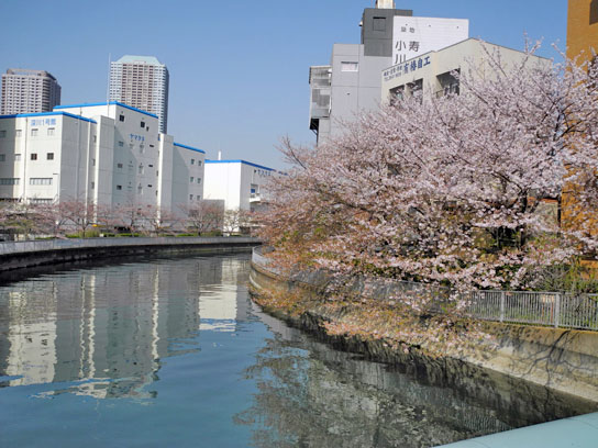 140408大横川桜7.jpg