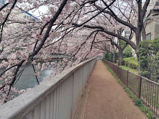 150329大横川桜2.jpg