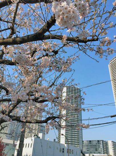 150330桜咲く.jpg