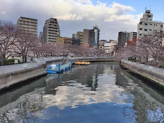 180323門前仲町桜.jpg